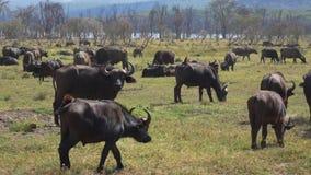 Manada enorme del búfalo en el pasto en el salvaje africano metrajes