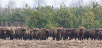 Manada europea del bisonte en invierno snowless Imagen de archivo