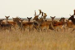 Manada grande de ciervos en barbecho Imagen de archivo libre de regalías