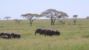 Manada grande de elefantes salvajes con el bebé que camina en prado en sabana africana metrajes