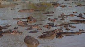 Manada grande de la colonia de grajos del panorama de hipopótamos en el río de Mara del africano con agua marrón almacen de video