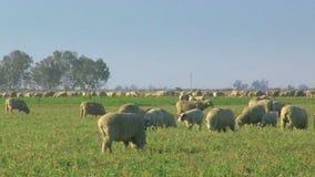 Manada grande de las ovejas que pastan en un campo metrajes