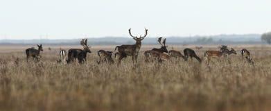 Manada grande de los ciervos en barbecho Fotografía de archivo libre de regalías