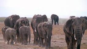 Manada grande de los elefantes africanos que caminan en la sabana almacen de video