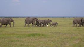Manada grande de los elefantes africanos salvajes que caminan a través del pasto en la reserva almacen de video