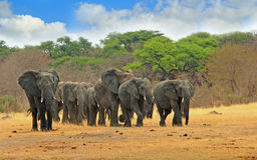 Manada grande de los elefantes que caminan adelante en los llanos de Hwange Foto de archivo