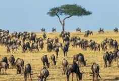 Manada grande del ñu en la sabana Gran migración kenia tanzania Masai Mara National Park foto de archivo