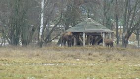 Manada grande del bisonte y de los ciervos europeos del sika en busca de la comida, fauna 4K almacen de metraje de vídeo