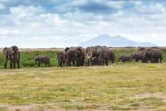 Manada grande del elefante Fotos de archivo libres de regalías