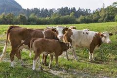 Manada hermosa de vacas con el becerro en prado de las montañas Fotografía de archivo libre de regalías