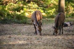 Manada hermosa del grupo de la familia del duri del elaphus del cervus del macho de los ciervos comunes Fotos de archivo