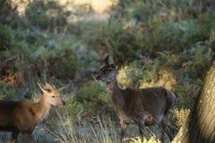 Manada hermosa del grupo de la familia del duri del elaphus del cervus del macho de los ciervos comunes fotos de archivo libres de regalías