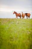 Manada inminente del caballo Foto de archivo