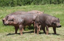 Manada joven del cerdo del Duroc-Jersey que pasta el verano del campo de granja imagenes de archivo