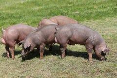 Manada joven del cerdo del Duroc-Jersey que pasta el verano del campo de granja fotos de archivo libres de regalías