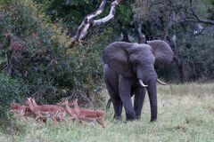 Manada pasajera que camina del toro del elefante del impala fotos de archivo