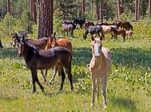 Manada salvaje del caballo del mustango de Ochoco en bosque imagen de archivo libre de regalías