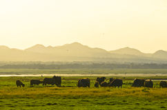 Manada tailandesa del búfalo en rural Foto de archivo libre de regalías