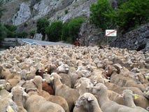 Manada y pastor de las ovejas Imagen de archivo libre de regalías