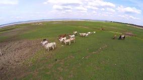 Manada y vacas del búfalo de la visión aérea en la presa del campo, Tailandia almacen de video