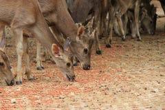 Manadas de ciervos Imagen de archivo libre de regalías