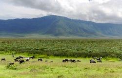 Manadas de la cebra y del ñu azul que pastan en la sabana Imágenes de archivo libres de regalías