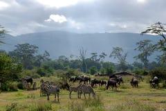 Manadas de la cebra y del ñu azul que pastan en la sabana Foto de archivo libre de regalías