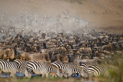 Manadas de la cebra y del ñu en Mara River, Kenia Imagen de archivo