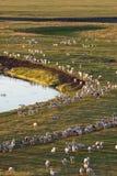 Manadas de ovejas Imagen de archivo libre de regalías