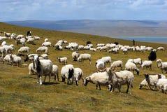 Manadas de ovejas Fotos de archivo libres de regalías