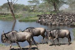 Manadas del wildebeest fotografía de archivo