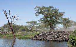 Manadas del wildebeest Imagen de archivo