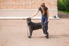 Manager met een hond Cane Corso Italian Mastiff stock afbeeldingen
