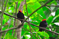 Manakin recouvert rouge, Costa Rica Images stock