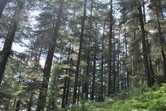Manali的,喜马偕尔省Deodar密林 库存图片