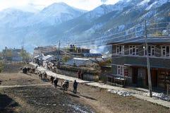 Manang Nepal En linje av packemulor som går till och med byn av Manang Med snön täckte Himalayas i bakgrunden arkivbild