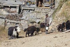 Herd of yak and men in the village of Manang in Annapurna circuit, Himalaya, Nepal royalty free stock image