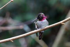 ManAnnas kolibri arkivfoton