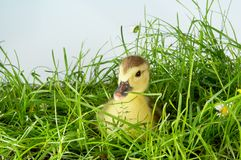 Manard in grass Stock Photos