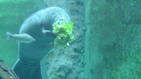Manatee στο νερό απόθεμα βίντεο