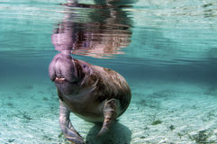 Manatee Royalty Free Stock Photo
