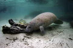 Manatee Stock Photo