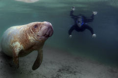 Manatee Stock Photography