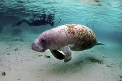Manatee Stock Photos