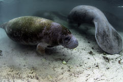 Manatee Royalty Free Stock Photography