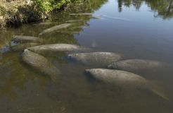 Manatee Royalty Free Stock Photos