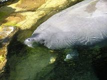 Manatee. A Manatee Stock Photos