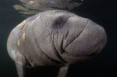 Manatee ad ovest dell'India Fotografie Stock