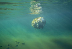 Manatee Approaching - Fanning Springs Royalty Free Stock Image