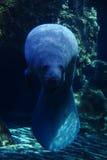 Manatee in aquarium Royalty-vrije Stock Foto